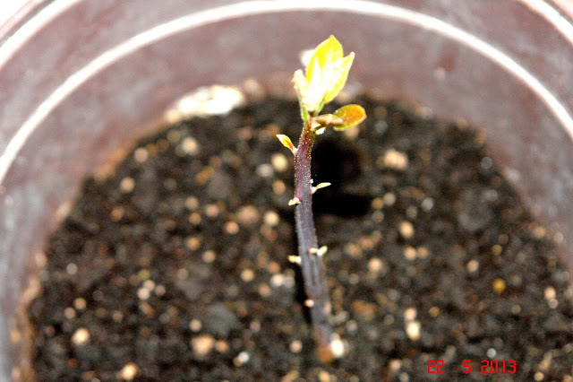 avocado baby sprout